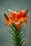 Orange lily. Fresh and very beautiful orange lily Royalty Free Stock Photography