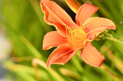 Orange lily Royalty Free Stock Images