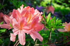 Orange lily garden Stock Image