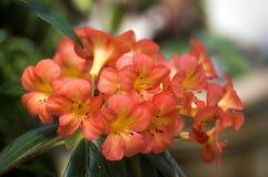 Orange Lily in the Garden stock image