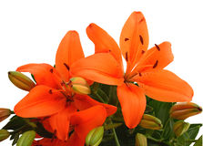 Orange lily isolated Royalty Free Stock Photography