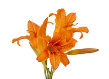 Orange lily isolated Royalty Free Stock Image