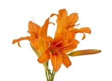Orange lily isolated Royalty Free Stock Image