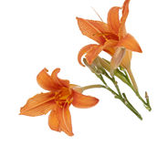 Orange lily isolated Royalty Free Stock Images