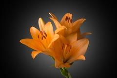 Orange Lily. Isolated on black background Stock Images