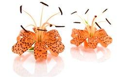 Orange lily isolated on white background Royalty Free Stock Photo