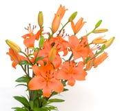 Orange lily. Isolated on white background Royalty Free Stock Photo