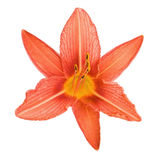 Orange lily isolated on white background Stock Photography