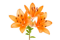 Orange lily isolated Royalty Free Stock Photo