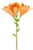 Orange lily isolated Stock Images