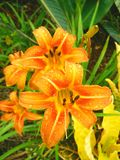Orange Lily. Lilies, garden, nature Royalty Free Stock Photography