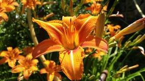 Orange lily.Lilium bulbiferum, common names orange lily stock images