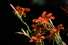 Orange lily (Lilium bulbiferum). Royalty Free Stock Photo