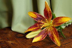Orange lily,  Lilium Pensylvanicum Royalty Free Stock Image