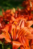 Orange lily (lilly). Orange lillies lily lilly Stock Photo