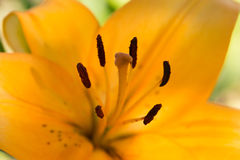 Orange lily, macro Stock Image