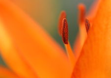 Orange Lily - macro. Royalty Free Stock Images