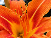 Orange lily petals. Pollen on stamen of orange lily Royalty Free Stock Photos