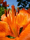 Orange Lily Pistil Stock Photo