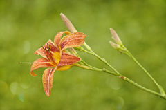 Orange Lily with rain drops Stock Images