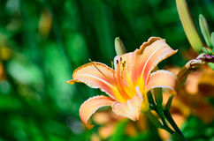 Orange Lily. Red and orange lily in a garden with green, blurry shallow depth of field background Royalty Free Stock Photos