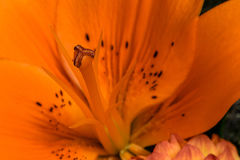 Orange Lily Stamen Royalty Free Stock Images