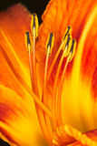Orange lily stamens with pollen macro Stock Photos