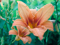 Orange lily on stems in the garden Stock Image