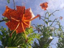 Orange lily. On the sun Royalty Free Stock Photos