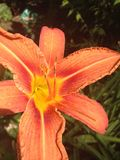 Orange lily in the sunlight. Delicate flower growing in our garden Royalty Free Stock Images