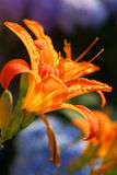 Orange Lily in sunset light. Two lilium in front of blue flowers Stock Images
