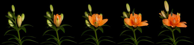 Orange Lily Time Lapse. Series. Studio shot over black Royalty Free Stock Photo