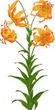 Orange Lily. Vector Royalty Free Stock Image