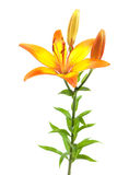 Orange lily on white Stock Photo