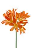 Orange lilys Royalty Free Stock Photo