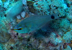 Orange lined Cardinalfish Red Sea Royalty Free Stock Photo