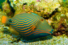 Orange Lined Triggerfish Stock Image