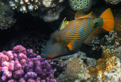 Orange-lined Triggerfish. In the Reef. Red Sea Royalty Free Stock Photography