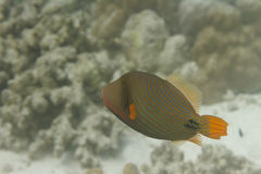 Orange lined triggerfish at Surin island Stock Image