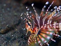 Orange lion fish Royalty Free Stock Photography