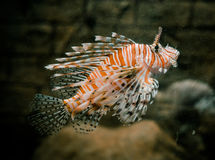 Orange Lionfish swiming Stock Images
