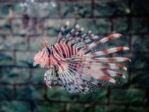 Orange Lionfish swiming Stock Image