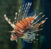 Orange Lionfish Stock Image