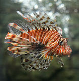 Orange Lionfish Royalty Free Stock Photo