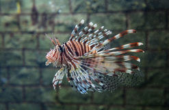 Orange Lionfish Stock Photography