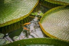 Orange liten fisk som spelar mellan sidor av jätte- waterlilies Arkivbild
