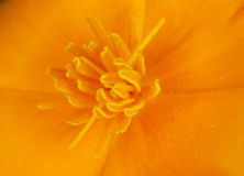 Orange little flower close-up - background Royalty Free Stock Image