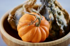 Orange pumpkin with a curly stem with a green bumpy gourd in a bowl background. Orange little pumpkin with a curly brown stem and a green bumpy gourd in a bowl Stock Photos