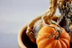 Orange pumpkin with a curly stem with a green bumpy gourd in a bowl background royalty free stock photo