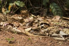 Orange lizard in dry leaves under sun. Brown iguana hides by mimicry. Exotic animal in wild nature. Tropical jungle forest inhabitant. Lizard looks in camera Royalty Free Stock Image